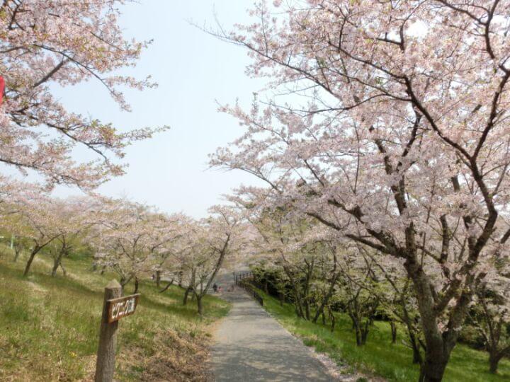 滝山公園の桜並木