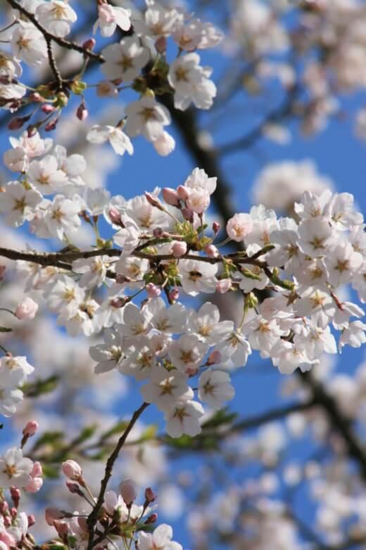 滝山公園の桜接写