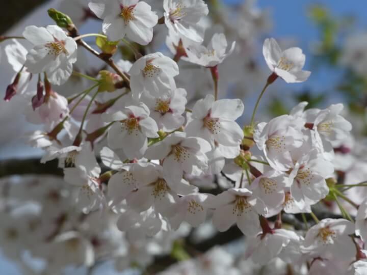 滝山公園の桜ドアップ