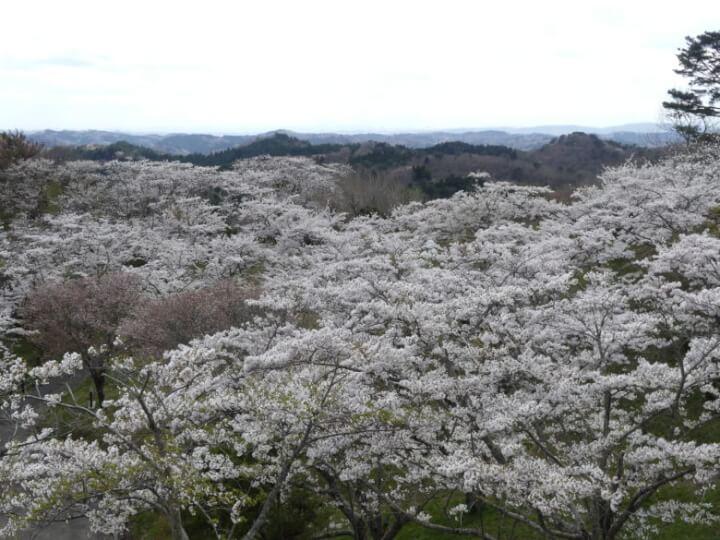 滝山公園の桜頂上からの眺め