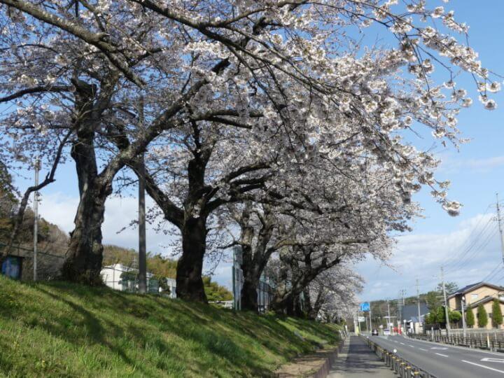 大塩小学校の桜並木