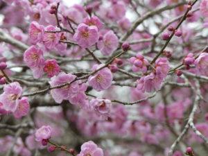 東松島植物図鑑 梅ピンク