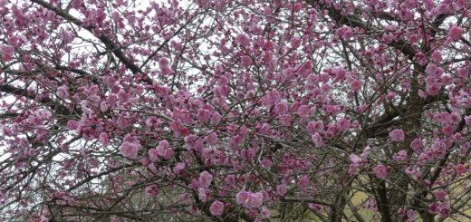 滝山公園の梅