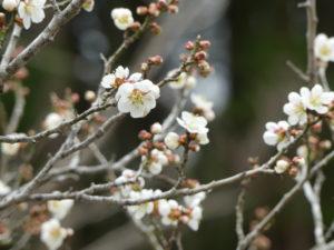 東松島植物図鑑 梅白