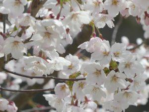 東松島植物図鑑 ソメイヨシノ