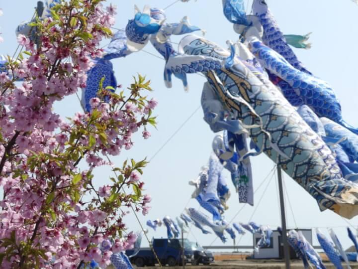 あおい鯉のぼりプロジェクトの鯉のぼりと桜
