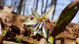 白のカタクリの花